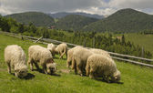 Sheep in the field — Foto de Stock