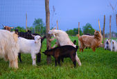 Herd of goats — Stock Photo