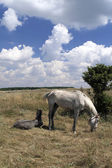 Grazing Mare with a Foal — Stock Photo