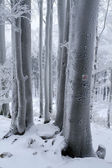 Snow Covered Beech Forest — Foto de Stock