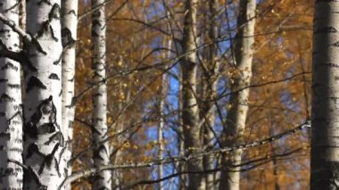 Birch trees, Autumn, Park — Stock Video