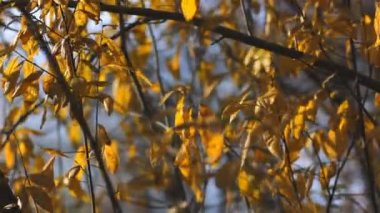 Willow tree in the park, wind — Stock Video