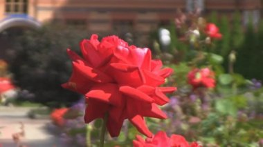 Red rose, garden — Stock Video