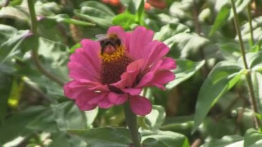 Bumblebee on the flower, zinnia, pollinate — Stock Video