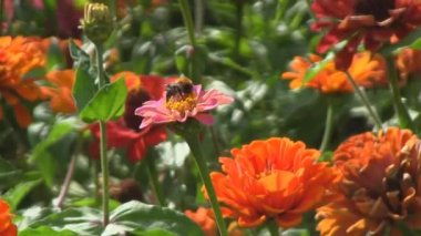Bumblebee on the flower, pollination — Stock Video
