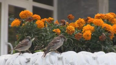 Bright flowers, marigolds, sparrows — Stock Video