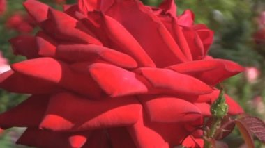 Beautiful red rose — Стоковое видео