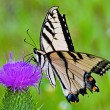 Butterfly and cone flower — Stock Photo