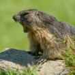 Stock Photo: Marmot of Alps