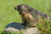 Marmot of the Alps — Stock Photo