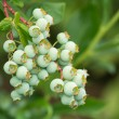 Blueberries ripening — Stock Photo