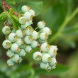 Stock Photo: Blueberries ripening