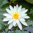 Water lilly bloom — Stock Photo