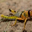 Grasshopper — Stock Photo