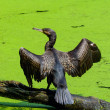 Stock Photo: Cormorant