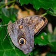 Stock Photo: A beautiful Owl butterfly