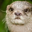 Short-clawed Otter — Stock Photo