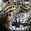 Ocelot - Leopardus pardalis — Stock Photo