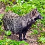 Raccoon Dog — Stock Photo