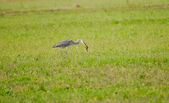 Grey heron standing in the grass — Stock Photo