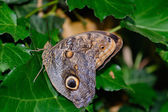 A beautiful Owl butterfly — Stock Photo