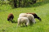 Sheep feeding on dried grass — Stock Photo