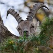 Alpine ibex — Stockfoto #30469941