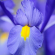 Stock Photo: Iris Pyrenees