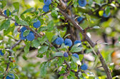 Blueberry plant — Stock Photo
