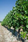 Grapes for Barolo — Stock Photo