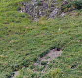 Marmot in front of his lair — Stock Photo