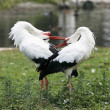 Stock Photo: White storks during courtship