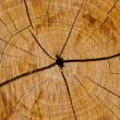Section of the trunk of a poplar — Stock Photo