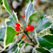 Holly — Stock Photo #31039293