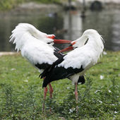 White storks during courtship — Stock Photo