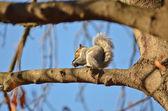 Esquilo na árvore — Fotografia Stock