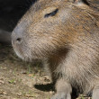 Capybara — Stock Photo #31056013