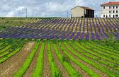 Marjoram and Lavender — Stock Photo