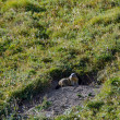 Stock Photo: Alpine Marmot