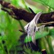 Pterophyllum — Stock Photo