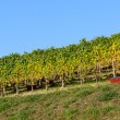 Vineyards in Piedmont — Stock Photo #34225445