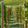 Vineyards in Piedmont — Stock Photo #34225535
