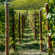 Vineyards in Piedmont — Stock Photo #34225539
