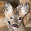 Roe deer — Foto de stock #36723495