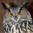 Adult owl — Stockfoto