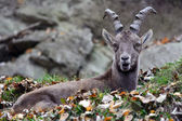 Alpine ibex — Stock Photo