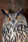 Adult owl — Stock Photo