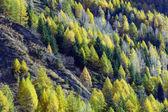 Conifers in autumn — Stock Photo