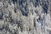 Snowy pine forest — Stockfoto