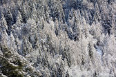 Snowy pine forest — Стоковое фото